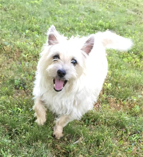 Arco the Cairn Terrier